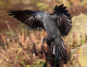 Dohle mit gespreizten Flügeln und Schwanzfedern