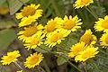 Cota tinctoria pallida - Yellow chamomile - Boyacı papatyası 0.jpg
