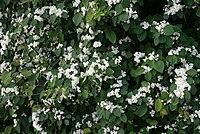 Cotoneaster-multiflorus-habit