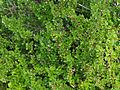 Cotoneaster adpressus - Botanischer Garten München-Nymphenburg 07616-Z.jpg