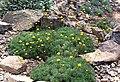 Cotula hispida 1.jpg