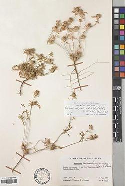 Cousiniopsis atract-002.JPG