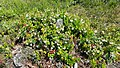 Cowberry flowers, Tuusula, Finland.jpg