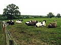 Cows resting on Great Park Farm near Wokefield - geograph.org.uk - 23937.jpg