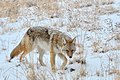 Coyote - Fresh Snow (11498558056).jpg