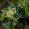 Coyote Brush Bud Gall Midge (Rhopalomyia californica) (10879639084).jpg