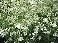 Crambe cordifolia02.jpg