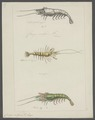 Crangon vulgaris - - Print - Iconographia Zoologica - Special Collections University of Amsterdam - UBAINV0274 097 05 0003.tif