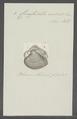 Crassatella sulcata - - Print - Iconographia Zoologica - Special Collections University of Amsterdam - UBAINV0274 079 09 0002.tif