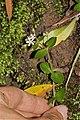 Crassula bachypetala (Crassulaceae) (6932183997).jpg