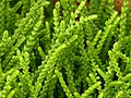 Crassula muscosa 'Princess Pine' Closeup 3264px.jpg
