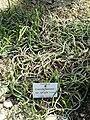 Crassula muscosa - Botanischer Garten München-Nymphenburg - DSC08092.JPG