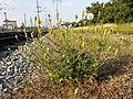 Crepis foetida subsp. rhoeadifolia sl8.jpg