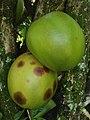 Crescentia cujete (Bignoniaceae) 01.jpg