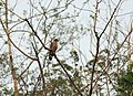 Crested serpent eagle WLB IMG 9339.jpg