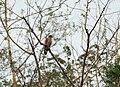 Crested serpent eagle WLB IMG 9339.jpg