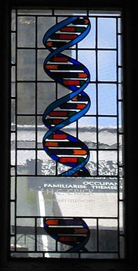 Stained glass window in the dining hall of Caius College, in Cambridge, commemorating Francis Crick and representing the structure of DNA. Crick-stainedglass-gonville-caius.jpg