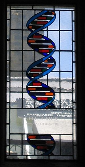 Francis Crick - Stained glass window in the dining hall of Caius College, in Cambridge, commemorating Francis Crick and representing the double helical structure of B-DNA.