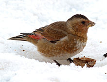 Crimson-winged-Finch.jpg