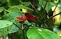 Crimson Sunbird Aethopyga siparaja by Dr. Raju Kasambe IMG 2509 (10).JPG