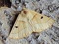 Crocallis elinguaria - Scalloped oak - Пяденица пухоногая жёлтая (40028999145).jpg