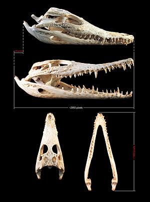 Crocodylus-krokodilskopf-2.jpg