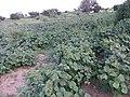Crop of Gwar in Mrodo field.jpg