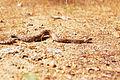 Crotalus viridis oreganus01.jpg