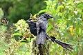 Crotophaga ani (Garrapatero común) (6) - Flickr - Alejandro Bayer.jpg