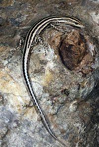 Cryptoblepharus leschenault