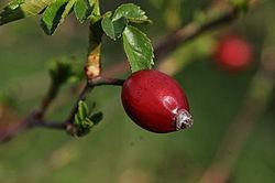 Csipkebogyó: C-vitamin ingyen - HáziPatika A csipkebogyó jó a látásra