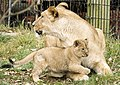 Cub and Mom (4143072297).jpg