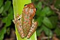 Cuban Tree Frog (Osteopilus septentrionalis) (8575065606).jpg