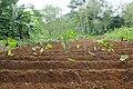 Culture du taro à São Tomé (4).jpg