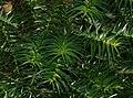 Cunninghamia lanceolata (Chinese Fir) (31150059292).jpg