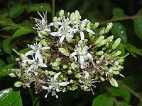 Curry Tree flower4.JPG