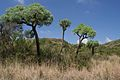 Cussonia paniculata00.jpg