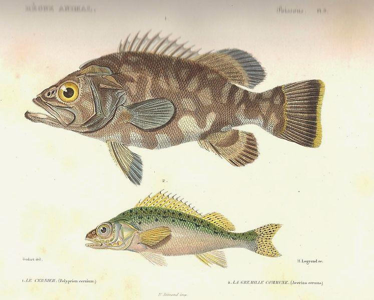 File:Cuvier-9-Cernier polyprion et Grémille.jpg