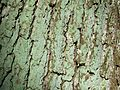 Cyanobacteria on oak bark.jpeg