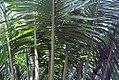 Cycas circinalis 3zz.jpg