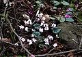 Cyclamen coum ssp. coum f. pallidum.jpg