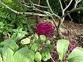 Cyclamen hederifolium dark pink - Flickr - peganum (5).jpg