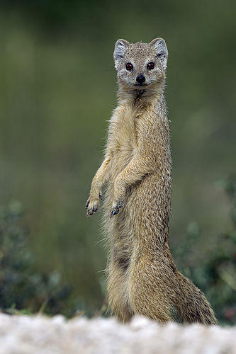 Adult yellow mongoose