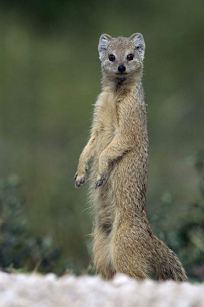 The average adult weight of a Yellow mongoose is 694 grams (1.53 lbs)