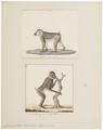 Cynocephalus leucophaeus - 1700-1880 - Print - Iconographia Zoologica - Special Collections University of Amsterdam - UBA01 IZ20100094.tif