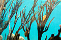 Cyphoma gibbosum 001.jpg