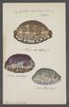 Cypraea arabica - - Print - Iconographia Zoologica - Special Collections University of Amsterdam - UBAINV0274 088 02 0023.tif