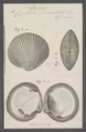 Cytherea punctata - - Print - Iconographia Zoologica - Special Collections University of Amsterdam - UBAINV0274 078 07 0018.tif