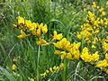 Cytisus procumbens sl20.jpg