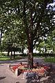 Dąbek Wolności w parku im. Konstytucji 3 Maja w Suwałkach.jpg